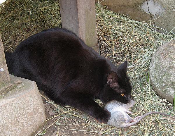 В большинстве случаев кошка-крысоловка позволяет навсегда забыть о проблеме нашествия мышей и крыс без каких-либо усилий со стороны человека.