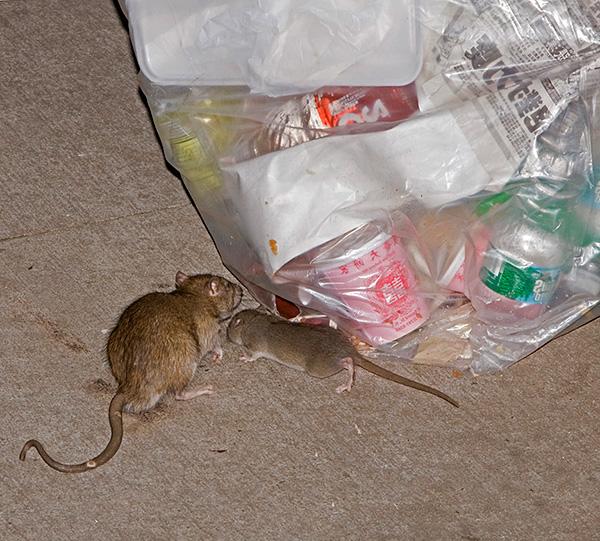 В некоторых случаях ультразвуковой отпугиватель Торнадо действительно может оказаться неэффективным средством, и крысы никак не будут реагировать на него.