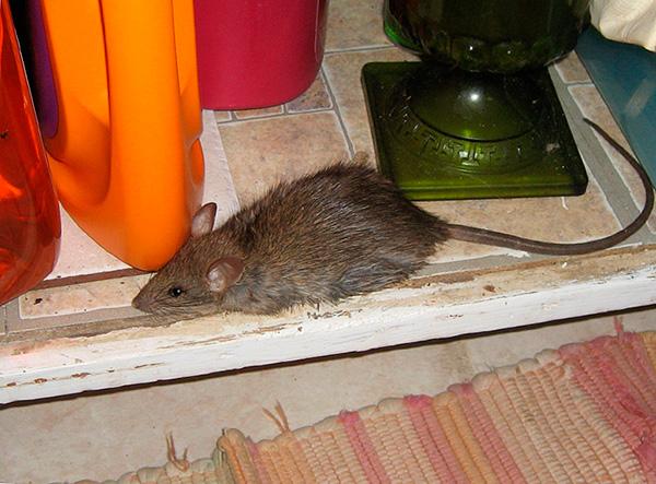 Чтобы исключить привыкание крыс и мышей к ультразвуку, производители отпугивателей увеличили их эффективность путем введения режима автоматического изменения частоты.