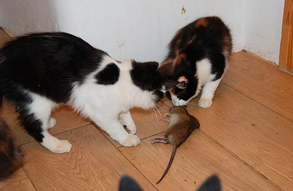 Кошки-крысоловки обычно позволяют надежно избавиться от грызунов и надолго забыть об этой проблеме.