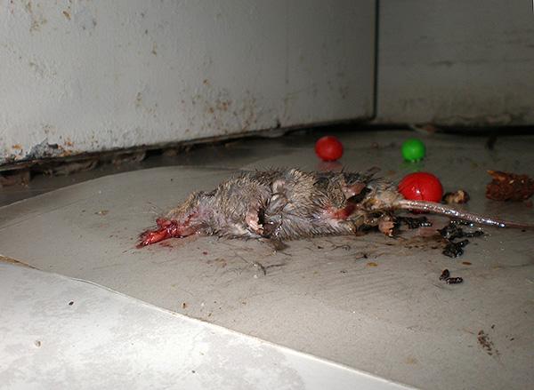 Одним из существенных недостатков клея от крыс и мышей является то, что использование этого средства является негуманным по отношению к грызунам.