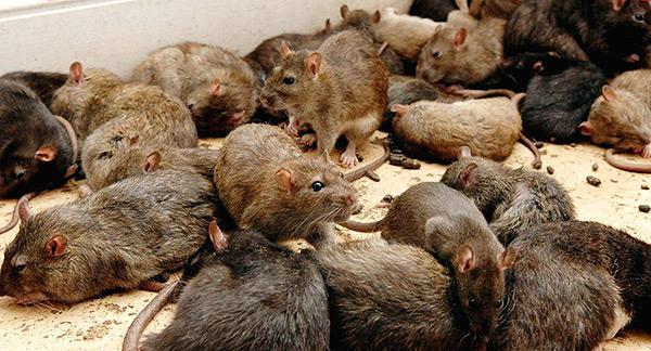 У крыс нет ярко выраженного лидера в стае, есть лишь отдельные более сильные особи, которые в первую очередь участвуют в размножении.