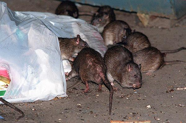 Встретить крысиного короля в Средневековье считалось дурным знамением, приносящим беды и болезни.