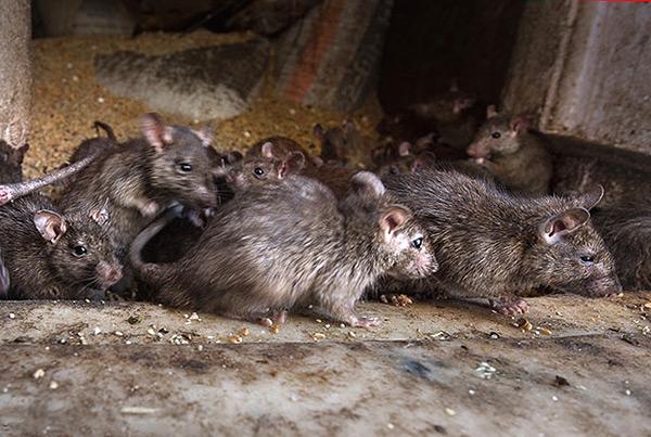 Одна из возможных причин переплетания хвостов у крыс - постоянное пребывание в условиях грязи.