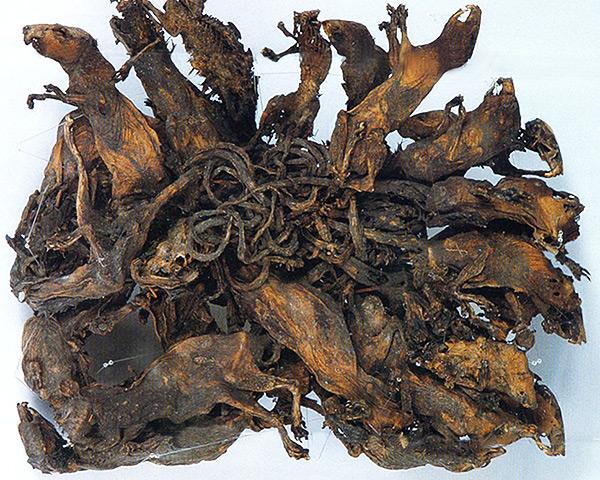 Самый большой из известных науке крысиных королей, состоящий из 32 крыс, находится в музее естественной природы Mauritianum (г. Альтенбург, Германия).