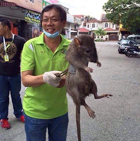 Выясняем, какая крыса является самой большой в мире и насколько огромных размеров эти существа могут достигать вообще...