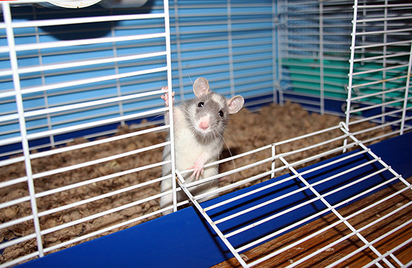 Декоративные крысы обрели светлый окрас в результате многочисленных экспериментов по селекции.