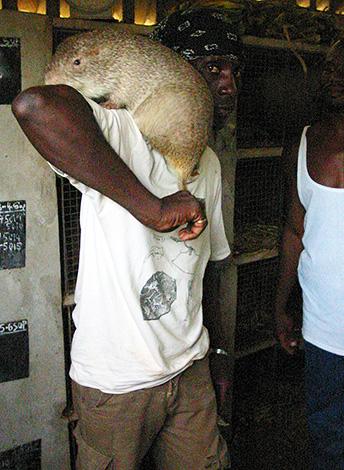 Большая тростниковая крыса может достигать в длину 61 см и весить почти 6 кг.