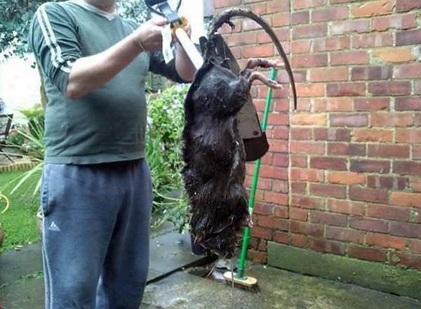 Иногда крысы действительно могут достигать внушительных размеров, однако в большинстве случаев речь не идет про обычных диких серых крыс.