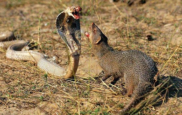 Хотя у мангуста есть некие общие черты с крысой, перепутать этих животных сложно.
