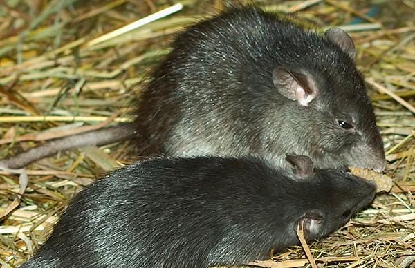 Черная крыса отличается от серой меньшими размерами.