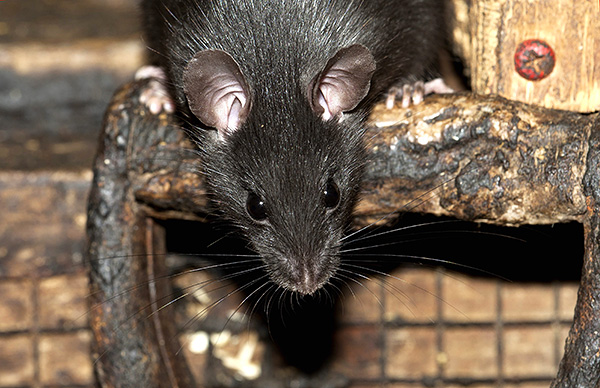 Поговорим об интересных особенностях жизни черных крыс и взаимоотношениях этих грызунов с человеческой цивилизацией...