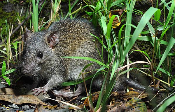 Черные крысы предпочитают жить отдельно от человека, если есть комфортные для них климатические условия.