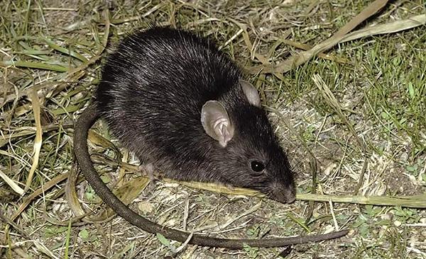 Черная крыса своим внешним видом зачастую напоминает большую мышь.