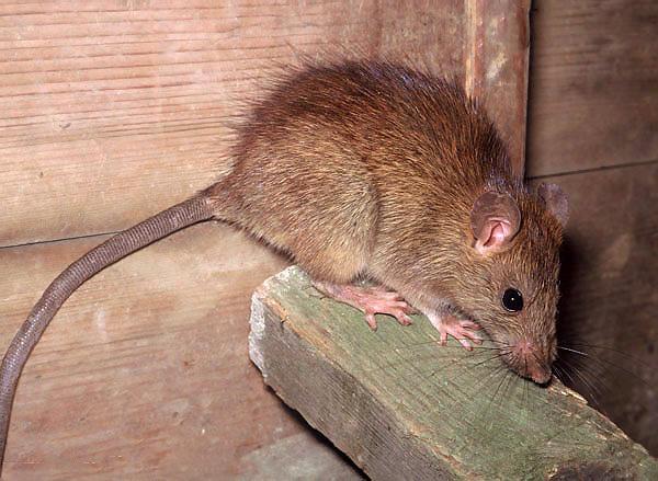 Среди черных крыс встречаются особи с более светлой шерстью - от коричневого до светло-русого...