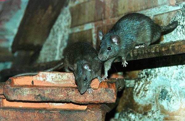 Эти животные теплолюбивы, и в России почти не встречаются вне жилища человека, в то время как в комфортных тропических условиях предпочитают дикую природу.