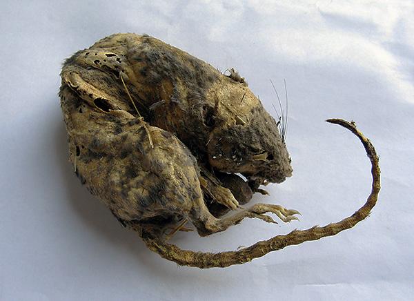 Способен ли Голиаф оказывать мумифицирующее действие на погибших крыс и мышей, предотвращая разложение и неприятный запах?..