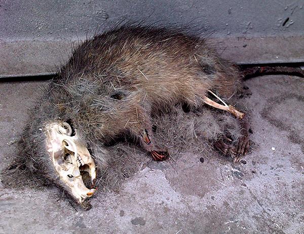 Нет предпосылок к тому, что Голиаф останавливал бы разложение трупов отравленных крыс.
