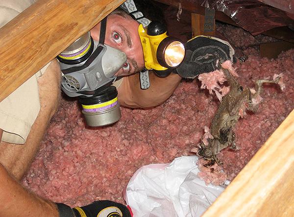 Трупы погибших крыс и мышей при разложении издают сильный зловонный запах, но найти их порой бывает очень сложно.