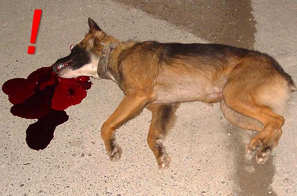 Препараты на основе флокумафена для собак еще более ядовиты, чем для крыс.