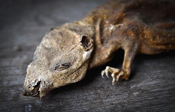 Давайте разберемся, как работают так называемые мумифицирующие отравы, применяемые для борьбы с крысами и мышами, и действительно ли они мумифицируют трупы грызунов...