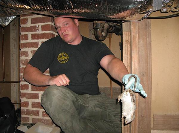 Если отравленная крыса все-таки умрет за стеной или под полом в жилом помещении, то начинает разлагаться и издавать ужасный трупный запах.