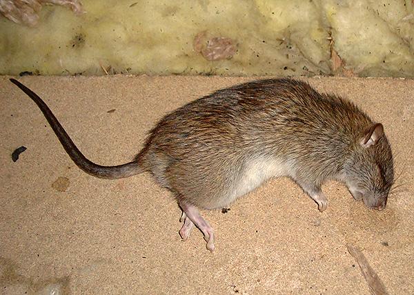 Несмотря на отсутствие заявленного мумифицирующего эффекта, отравы для крыс и мышей в большинстве своём эффективны в плане уничтожения грызунов.