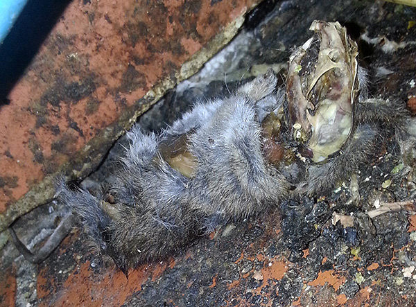 Грызуны могут погибнуть от крысиного яда в труднодоступном месте (за стеной, под полом) и способны причинить большие неудобства из-за весьма неприятного трупного запаха.