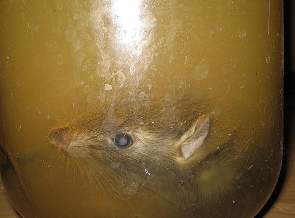 Для того чтобы предотвратить разложение трупа крысы, её нужно буквально полностью вымочить в специальном растворе.