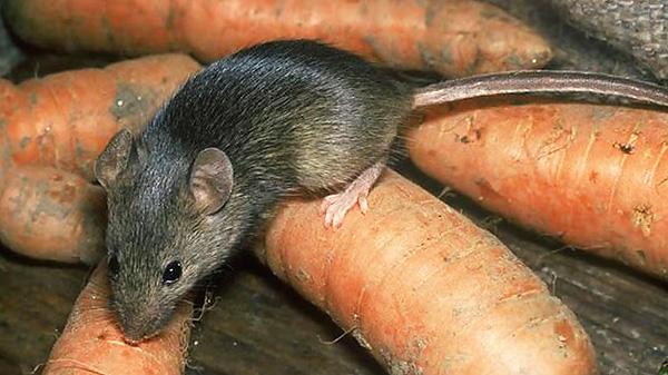 Крысы и мыши способны привыкать к ультразвуку, если он воздействует на них продолжительное время.