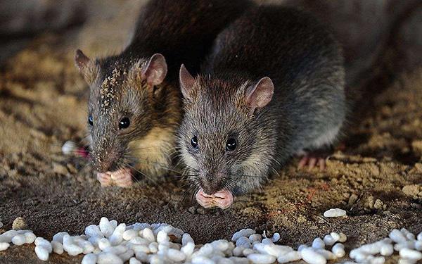 Серые крысы обладают высочайшей приспособляемостью к условиям окружающей среды...