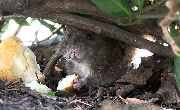 Серые крысы могут питаться практически чем угодно, хотя основу их рациона при благоприятных условиях составляет растительная пища.