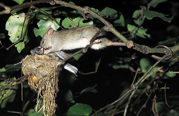 Крысы могут питаться не только яйцами, но и нападать на птенцов.