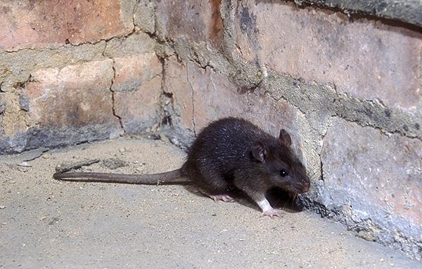 Черные крысы живут в основном в портах и на чердаках домов, в отличие от серых, которые распространены повсеместно.
