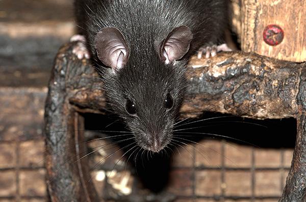 Черная крыса имеет в среднем меньший размер, чем пасюк, но более вытянутую морду и более крупные уши.