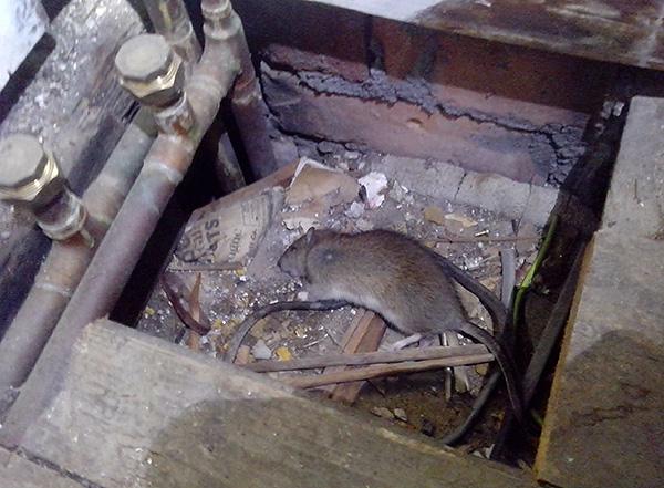 Отравившийся грызун может погибнуть в труднодоступном месте и в дальнейшем источать сильный трупный запах при разложении.