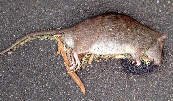 Поедание яда вызывает у крыс кровотечения, из-за которых животные и погибают.