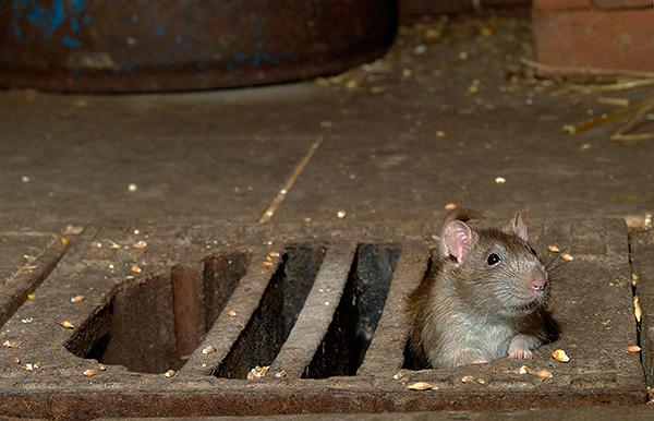 Яд для грызунов Крысиная Смерть 1 одинаково эффективен как на промышленных объектах, так и в бытовом применении, важно лишь правильно рассчитать количество применяемой отравы.