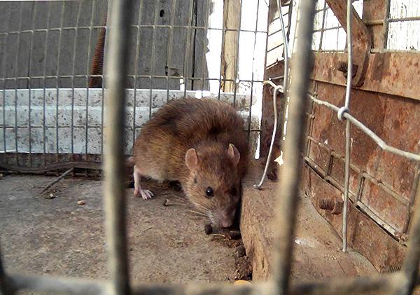 На фото показан пример крысы, пойманной в клетку-ловушку (живоловку)
