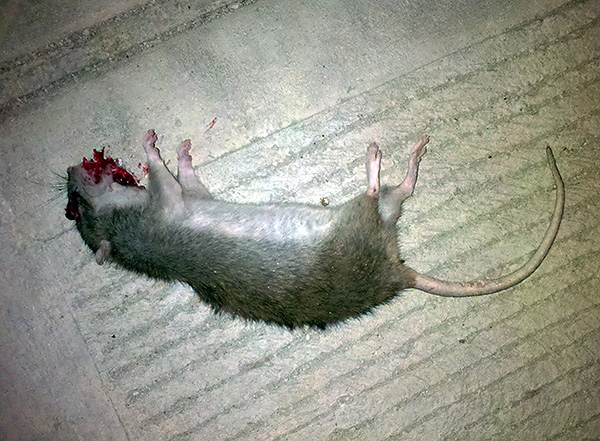 Отравы для крыс и мышей на основе антикоагулянтов крови уничтожают грызунов за счет ухудшения свертываемости крови, что вызывает сильные кровотечения.