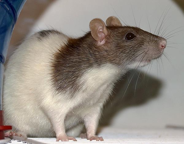 Дешевые отпугиватели если и способны воздействовать на крыс и мышей, то только с очень близкого расстояния, поэтому в большинстве случаев демонстрируют низкую эффективность.
