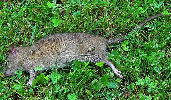 Крысид из-за своих недостатков все больше вытесняется с рынка более эффективными крысиными отравами.