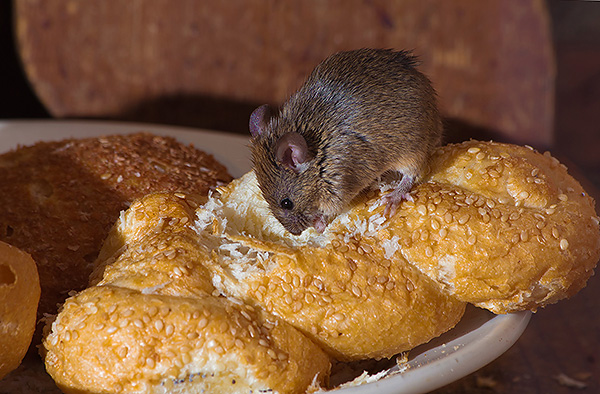 Следует иметь в виду, что чаще всего инфекции от крыс передаются человеку посредством испорченных продуктов питания, нежели чем через укусы.