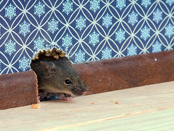 Перед покупкой того или иного устройства полезно почитать отзывы о нем - действительно ли прибор помог хоть кому-то справиться с мышами или крысами в доме...