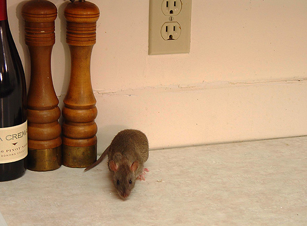 Знакомимся со способами избавления от крыс и мышей, если эти грызуны вдруг решили поселиться в частном доме...