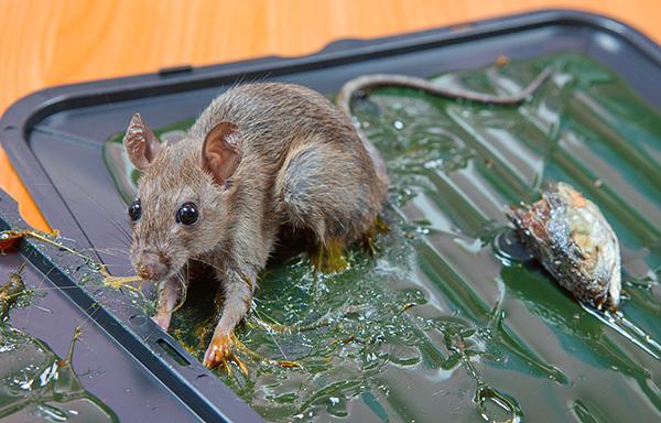 В клеевых ловушках пойманный грызун может промучаться долгое время, прежде чем умрет от обезвоживания.