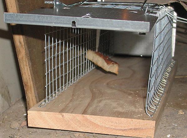 Живоловушки представляют собой более гуманный вариант избавления от крыс и мышей в доме.