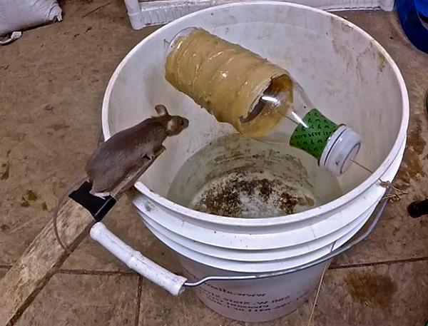 На фотографии показан пример самодельной ловушки, позволяющей весьма эффективно ловить крыс и мышей.