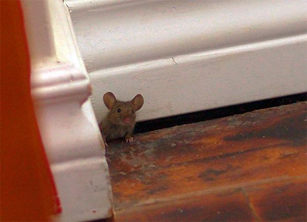 Важно понимать, что ультразвук практически не проникает через стены, поэтому за ними грызуны могут чувствовать себя вполне комфортно.