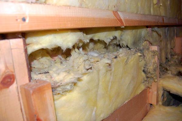 При применении отравы крысы нередко погибают прямо в ходах, прогрызенных в утеплительном материале стен дома.